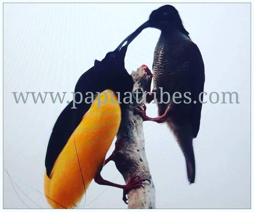 10 Days Birding:Jayapura-Arfak