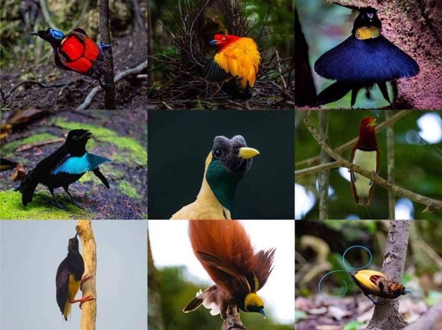 16 days Birding inPapua